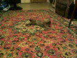 Кошка развлекает себя сама (прикол, животные, камеди, квн, фильм, триллер, 2014,угар,mdk, футбол)